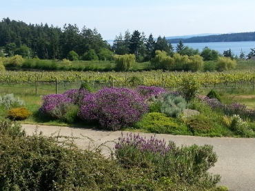 The gorgeous view from the bistro (closed) and the Saturna vineyard (fallow).  Sigh.
